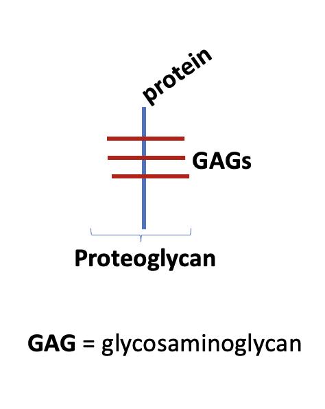 GAGs fysiologi